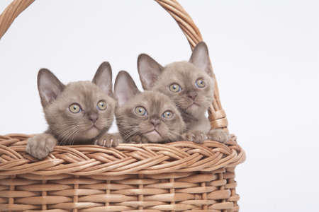 habbit: pretty little Burmese breed cat of pale color(straw-coloured). isolated over white background