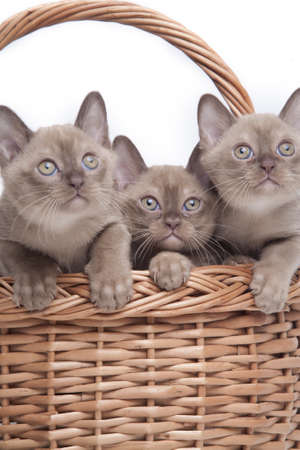 burmese: pretty little Burmese breed cat of pale color(straw-coloured). isolated over white background