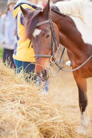 piebald: un caballo picazo de pura raza de pie y comiendo heno de m�s de dos personas detr�s de �l fuera de Foto de archivo