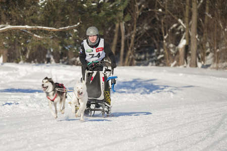 bred: MINSK-BELARUS - JANUARY 27, 2013: Unidentified participant competes in ZAVIRUHA -2013 sledding racing cup  in January 27, 2013 in Minsk, Republic of Belarus
