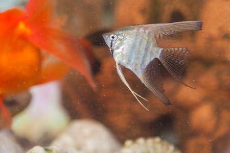 scalare: Separate Odinary Scalare in Personal Aquarium Indoors.Horizontal Image Orientation
