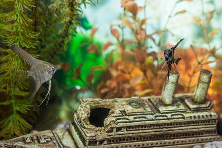 scalare: Two Separate Ordinary Scalare Individuals in Personal Aquarium Indoors. Horizontal Image Composition Stock Photo