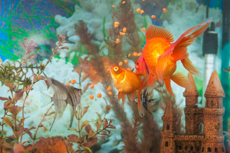 scalare: Two Different Types of Aquarium Fishes in One Aquarium: Ordinary Scalare Individual Fish, Carassius Auratus known as Golden Fish Indoors. Horizontal Image