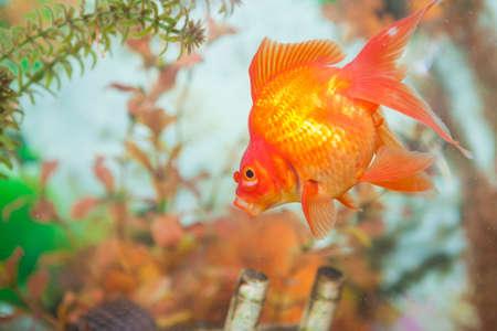carassius auratus: Ordinary Carassius Auratus Individual Fish Known as Golden Fish in Personal Aquarium Indoors. Horizontal Image Orientation