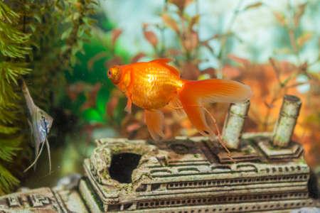 scalare: Two Separate Ordinary Scalare Individual Fish and Carassius Auratus Widely Known as Golden Fish in Aquarium. Horizontal Image