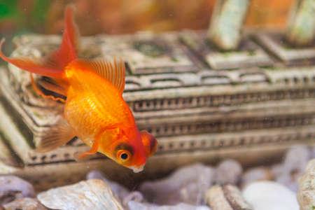 carassius auratus: Ordinary Carassius Auratus Individual Fish Known as Golden Fish in Personal Aquarium Indoors. Horizontal Shot