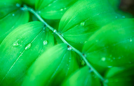 Closeup of Morning Water Drops on Green Park Leaves. Hoizontal Image
