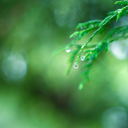 Closeup Of Water Drops on Coniferous Branches in The Park Outdoors. With Beautifully Blurred Background. Square Image