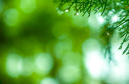 Closeup Of Morning Water Drops on Coniferous Branches in The Park Outdoors. With Beautifully Blurred Background. Horizontal Image