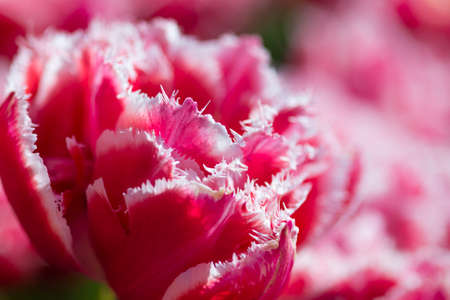 Nature and Botanical Concepts. Macro Shot of National Rose Dutch Tulips Of Queensland Kind Against Blurred Background. Located in Keukenhof National Park in the Netherlands. Horizontal Image Stock Photo