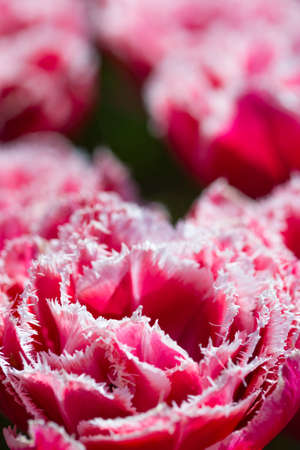 Nature and Botanical Concepts. Macro Shot of National Rose Dutch Tulips Of Queensland Kind Against Blurred Background. Located in Keukenhof National Park in the Netherlands. Vertical Image Stock Photo