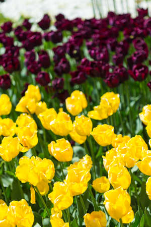 Nature and Botanical Concepts. Closeup Macro Shot of National Dutch (Holland) Tulips Of The Selected Sorts Shot Against Blurred Background. Located in Keukenhof National Park in the Netherlands. Vertical  Image Stock Photo