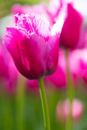 Nature and Botanical Concepts. Macro Shot of Classical Rose Tulips of Menton Sort Against Blurred Background. Located in Keukenhof National Park in the Netherlands. Vertical Image