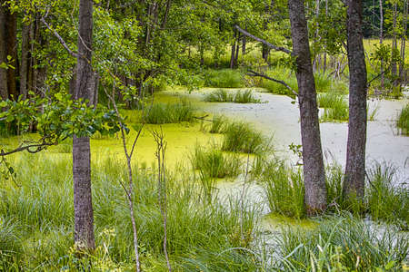 Traditional Tranquil Greenish Swampy Area in The Forest. Horizontal Image Composition Archivio Fotografico