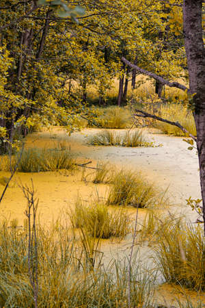 Traditional Tranquil Yellowish Swampy Area in The Forest. Vertical Image Orientation
