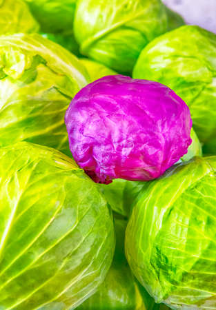 Fresh Cabbage of Green and Purple Colors. Vertical Image