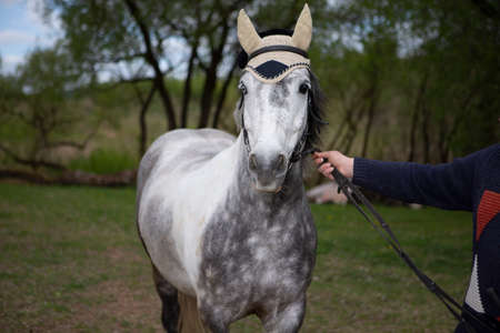 High Breed Horse on Leash on Meadow. Horizontal Image