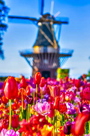 Famous European Places. Variety of Blooming Colorful Tulips In Keukenhof Public Flower Garden With Traditional Dutch Windmill In Background. Located in Keukenhof. Vertical Image