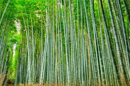 Oriental Travel Destinations. Green Sagano Bamboo Forest in Japan. Horizontal Image