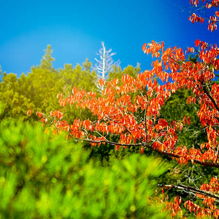 Traditional Red Maples on Sacred Mount Koyasan in Japan. Square Image Composition Standard-Bild