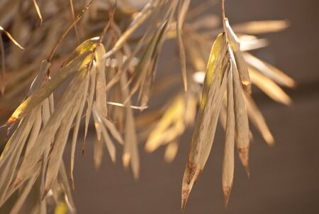 wilting: Brown leaves of a wilting bamboo tree