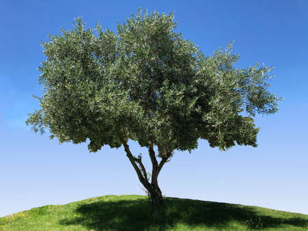 Olive tree, photo pictures.
