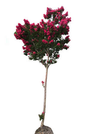 A crepe myrtle  tree, photography 写真素材