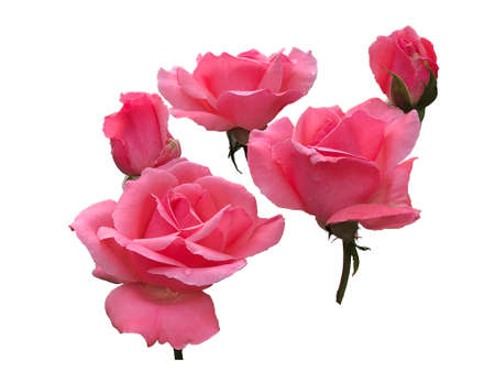 Pink roses photography pictures