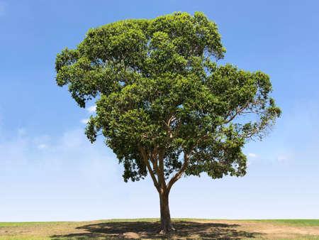 赤いガムの木