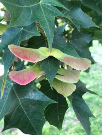 日本のカエデの葉と種、写真