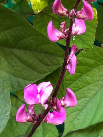 Lentil flower, photographic picture