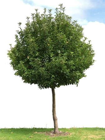 Apple tree, photography