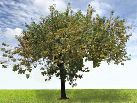 A ash tree,  photographic picture Stock Photo