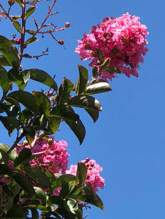 The leaves, flowers and buds of crape crape myrtle, photographic pictures