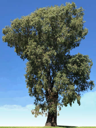 Old gum tree, photo picture. Stock Photo