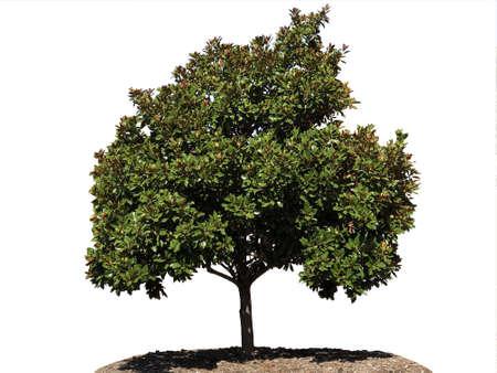 Magnolia tree 写真素材