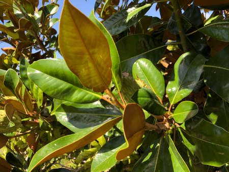 Leaf photography of Magnolia Magnolia Stock Photo