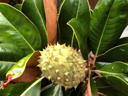 Magnolia fruit and leaves