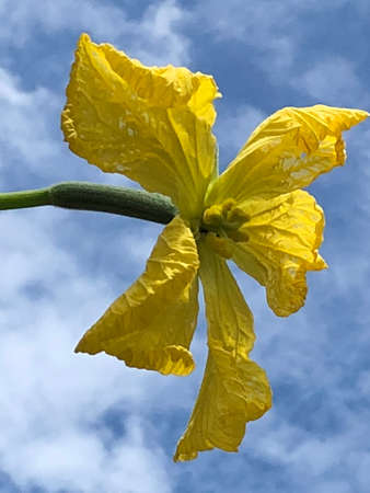 A photo of the loofah flower in the air.