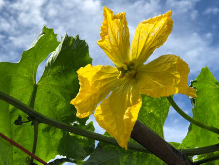 A loofah flower and leaves photography pictures.
