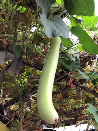 Photographs of long melon and leaves grown on the branches.