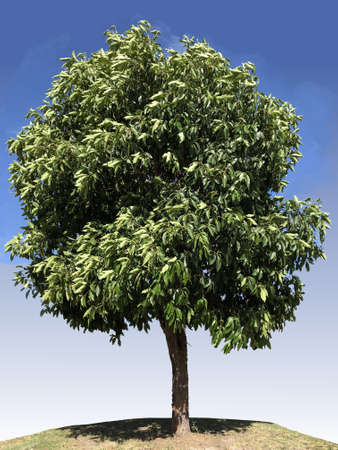 Lophostemon confertus  tree photography 写真素材