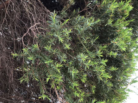 Melaleuca leaves and branches picture photography