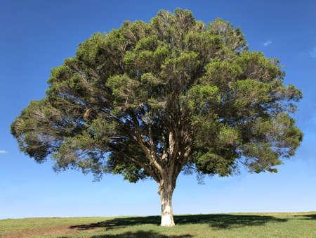 Melaleuca tree photography 写真素材