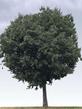 Celtis nettle tree, photograph 写真素材
