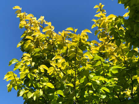 Golden elm leaves, photo pictures.