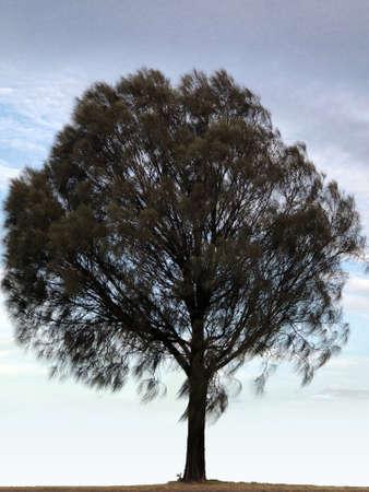 Allocasuarina verticillata tree, photography.