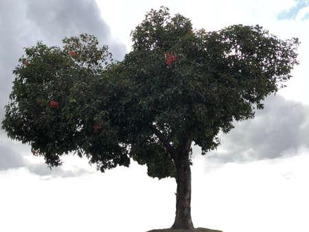 Flowering gum tree, photographic picture.