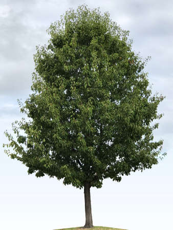 Callery pear tree, photographic picture.