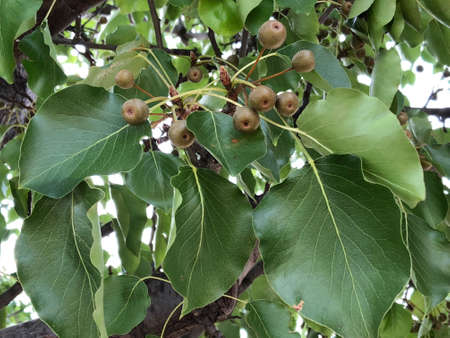 Manchuria pear tree leaves and fruits, photographic pictures